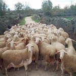 Historia de corderos