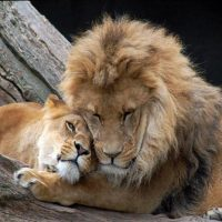 Leones-enamorados1