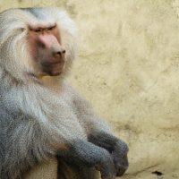 Mono Papión