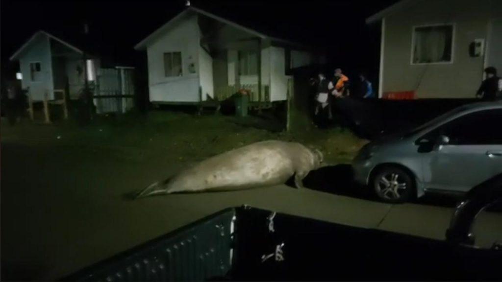Un elefante marino sorprendió a los vecinos en la calle
